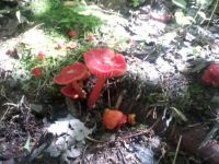 004 Vermillion waxcap in my woods.