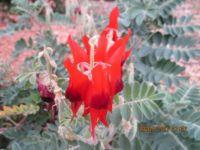 IMG_1254 Australian wild flower-dessert pea