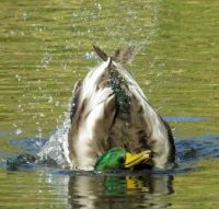 male mallard going for a dive