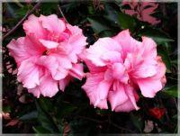 Hibiscus  -  Ibišek