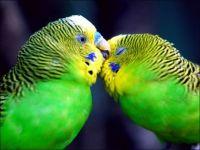 Budgies Cuddling