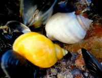 Dog Whelks in different colours