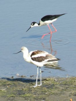 Avocet  and Black-Necked Stilt