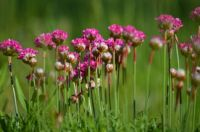 Pretty Pincushion Flowers