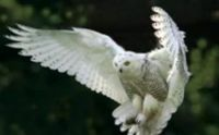 Male Snow Owl, pouncing on prey.