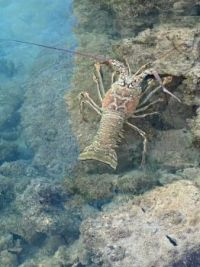 Spiny lobster below our dock.
