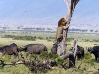 Lion escaping a herd of buffalo
