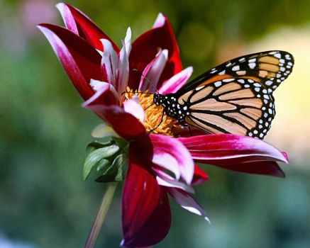 Dahlia and butterfly