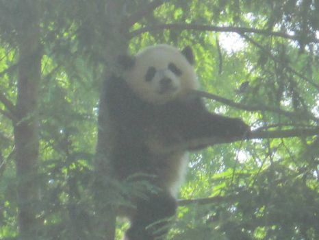 Bao Bao in the tree
