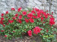 půdokryvný rododendron Baden Baden