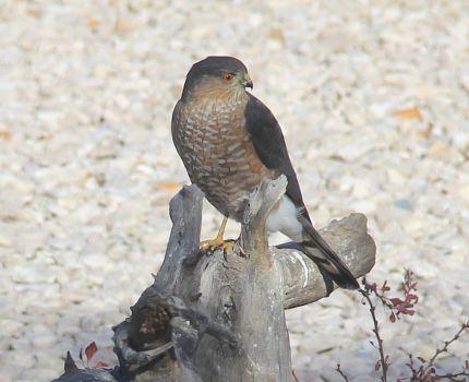 2014 Sharp-shinned Hawk2