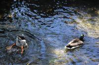 Ducks being ducks