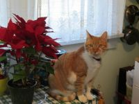 Cookie and her Poinsettia