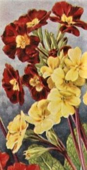 Polyanthus (Primrose) - Variety: Super Mixed - Mills's Cigarette card 1920s.