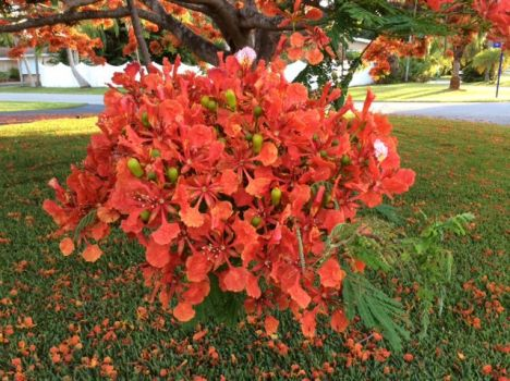 Poinciana, cluster of blossoms