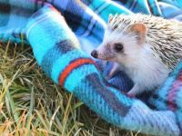 FOR BONNIE - YOUNG HEDGEHOG WITH HIS BLANKY