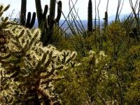 a dangerous cholla cactus to avoid