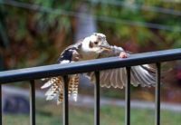 Kookaburra  swooping on meat on back railing.