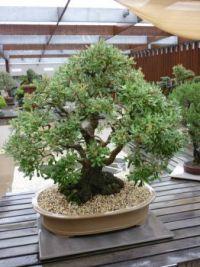 Banksia spp