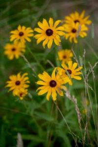 Black-eyed Susans (Rudbeckia hirta , a Conflower) along the Blue Ridge Parkway in Virginia, July 3, 2021