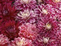 chrysanthemums =hard