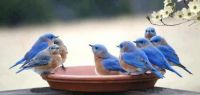 Bluebirds at the community pool