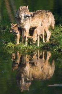 Zrcadlení vlk_Reflection wolf