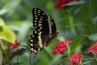 Giant Swallow Tailed Butterfly?