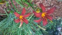 another one of my day lilies - crimson pirite