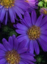 Closeup: Aster blue