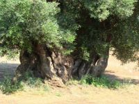 Lovely old olive tree - more pieces  :)