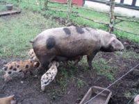 gammel dansk gris
