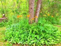 Cedar surrounded by Day Lilies and Lily of the Valley.