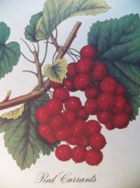 Red Currants, 63 pieces