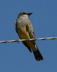Kingbird, Grand Avenue Bridge, Del Mar, California