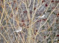 Snowy Tree Sparrow and Junco