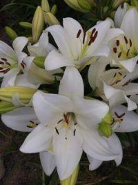 Sandra Waukazoos Lilies in Peshawbestown, Michigan