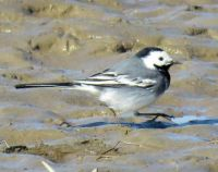 white wagtail (witte kwikstaart)