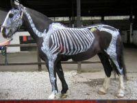 Horses Inside Out, #5 Skeleton Horses