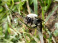Grey-backed mining bee