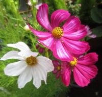 Cosmos or Cosmea 'family' (close up)