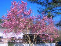 Japanese Tulip Tree...
