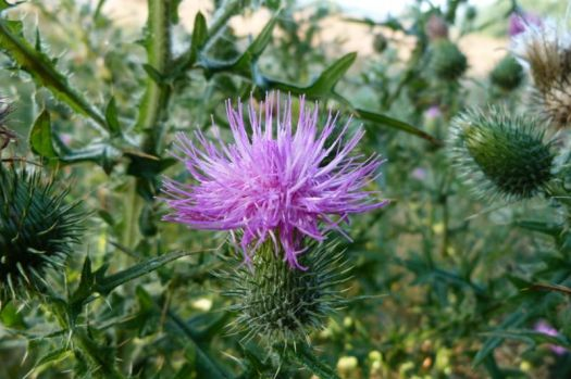 Speerdistel~Spear Thistle