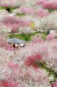 Wild cherry trees in Japan