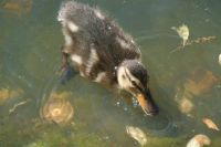 Bubbles the Duckling