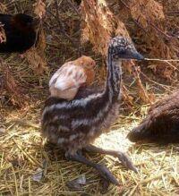 emu-back ride
