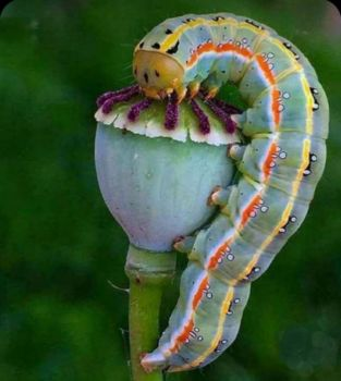 Caterpillar vs. Poppy