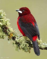 Crimson -backed Tanager (Ramphocelus dimidiatus)