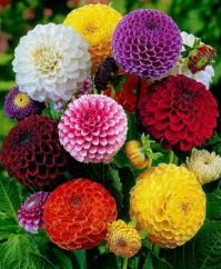 Zinnias Galore for TX94