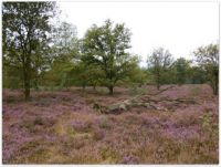 Bloeiende heide ~ Flowering Heather